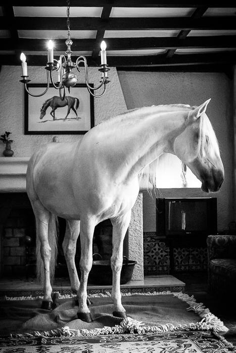 "Hästtavla ""Living Room Lusitano"""